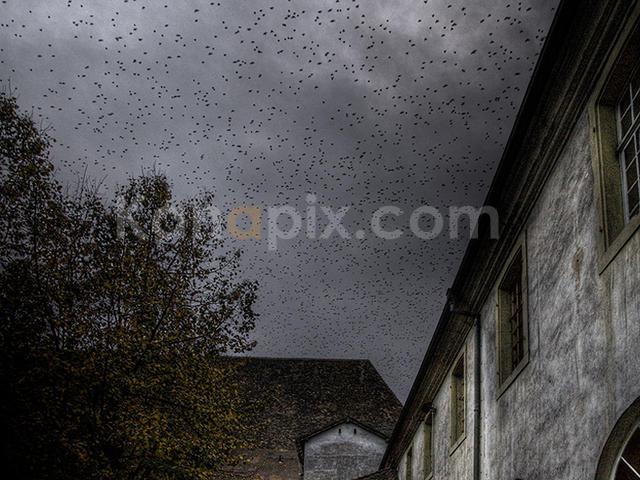 starlings_flight